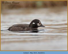 harlequin-duck-21.jpg