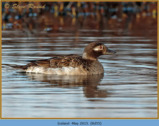 long-tailed-duck-55.jpg