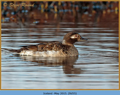 long-tailed-duck-55.jpg