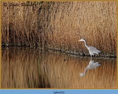 grey-heron-65.jpg