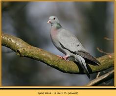 stock-dove-08.jpg