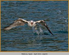 yellow-legged-gull-32.jpg