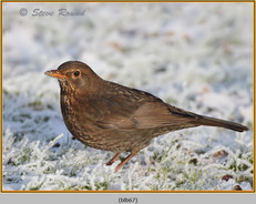 blackbird-67.jpg