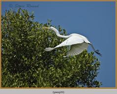 great-white-egret-20.jpg