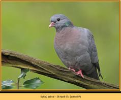 stock-dove-07.jpg