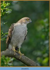sparrowhawk-03.jpg