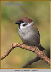 tree-sparrow-10.jpg