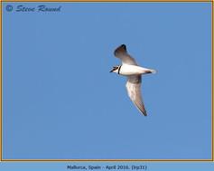 little-ringed-plover-31.jpg