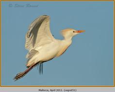 cattle-egret-51.jpg