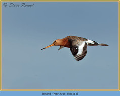 black-tailed-godwit-111.jpg