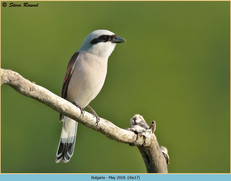 red-backed-shrike-17.jpg
