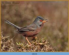 dartford-warbler-12.jpg