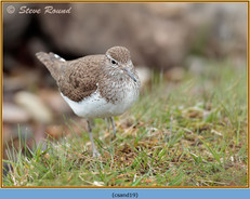 common-sandpiper-19.jpg