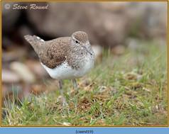 common-sandpiper-19.jpg