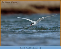arctic-tern-46.jpg
