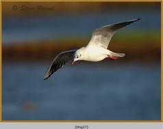 black-headed-gull-27.jpg