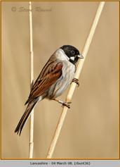 reed-bunting-36.jpg