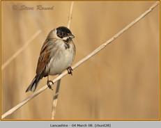 reed-bunting-28.jpg