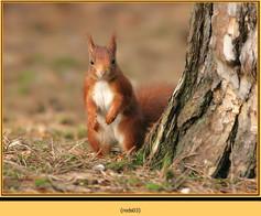 red-squirrel-03.jpg