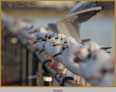black-headed-gull-44.jpg