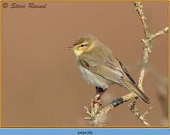 willow-warbler-39.jpg