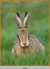 brown-hare-69.jpg