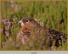red-grouse-125.jpg