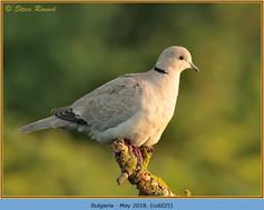 collared-dove-25.jpg