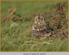 short-eared-owl-35.jpg