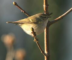 humes-warbler-01.jpg