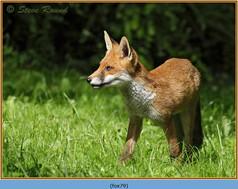 fox-79.jpg