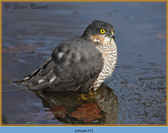 sparrowhawk-37.jpg