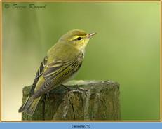 wood-warbler-75.jpg