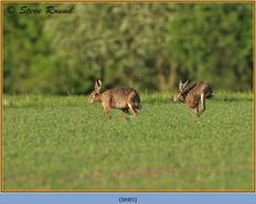 brown-hare-85.jpg
