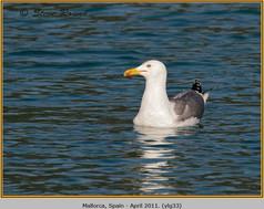 yellow-legged-gull-33.jpg