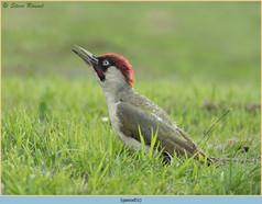 green-woodpecker-51.jpg