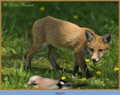 fox-57.jpg