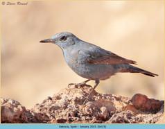 blue-rock-thrush-19.jpg