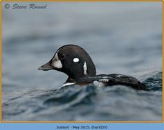harlequin-duck-35.jpg