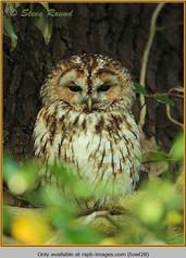 tawny-owl-28.jpg