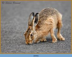 brown-hare-90.jpg