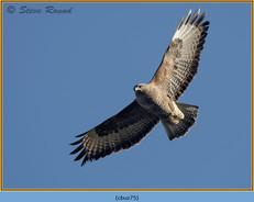 buzzard- 75.jpg