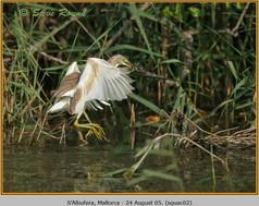 squacco-heron-02.jpg