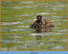 little-grebe-17.jpg