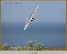 arctic-tern-39.jpg