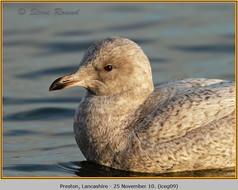 iceland-gull-09.jpg