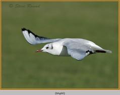 black-headed-gull-60.jpg