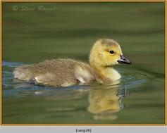 canada-goose-28.jpg