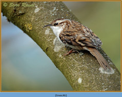 treecreeper-46.jpg