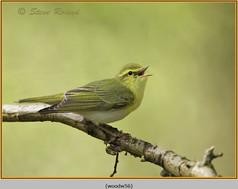 wood-warbler-56.jpg